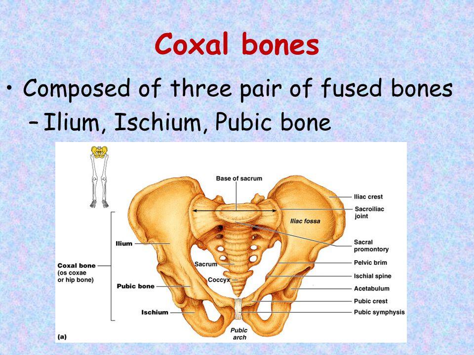 Coxal bones Composed of three pair of fused bones