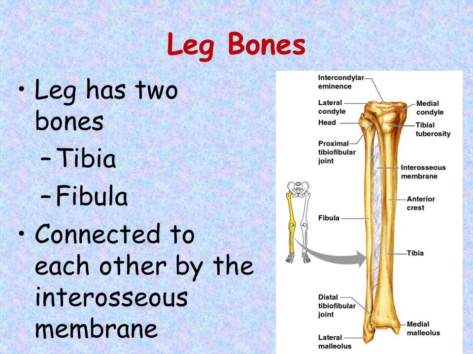Leg Bones Leg has two bones Tibia Fibula