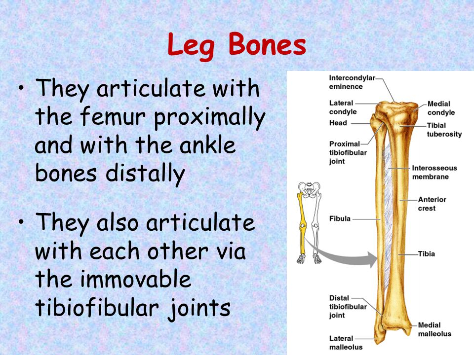 Leg Bones They articulate with the femur proximally and with the ankle bones distally.