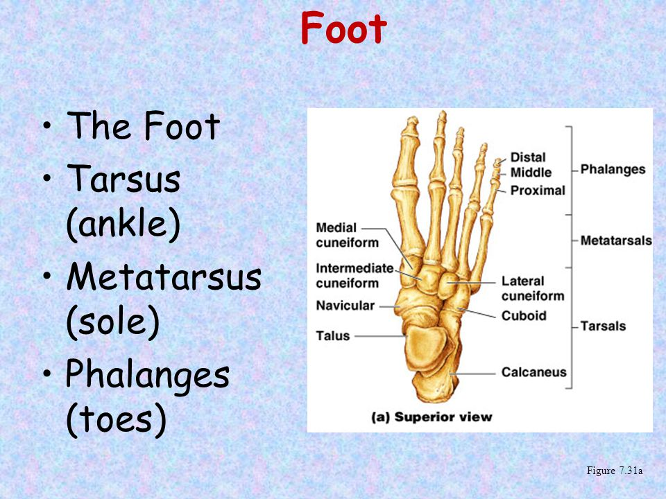 Foot The Foot Tarsus (ankle) Metatarsus (sole) Phalanges (toes)