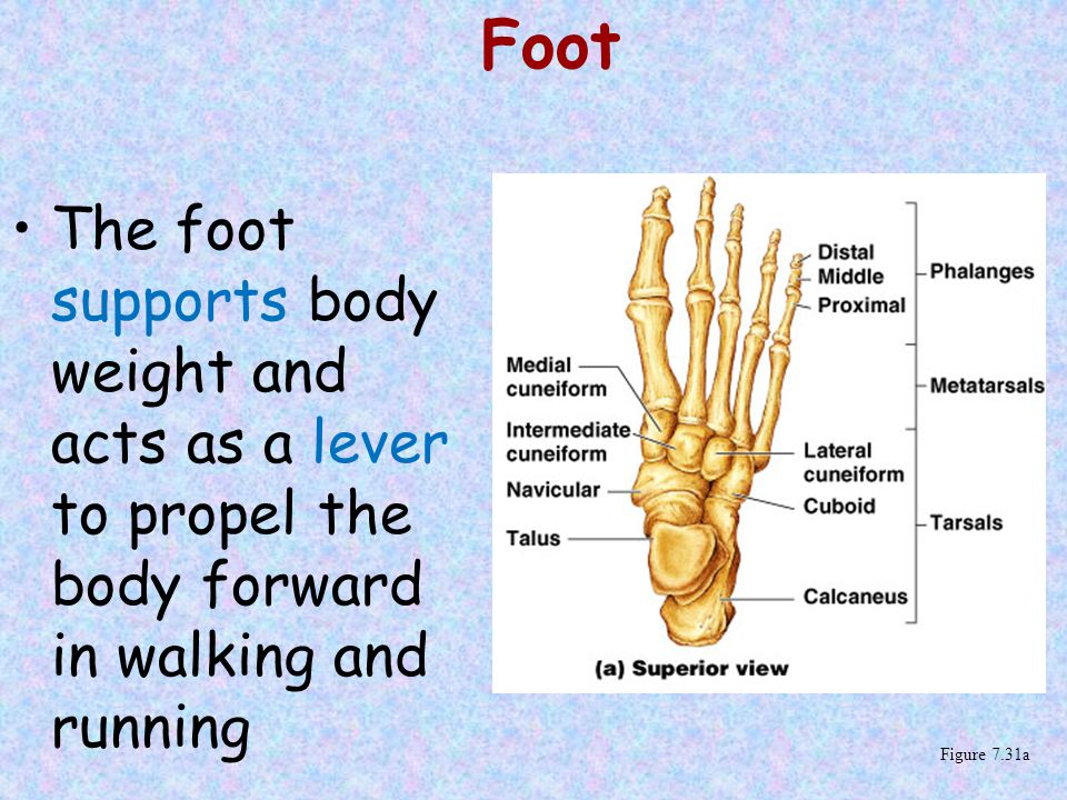 Foot The foot supports body weight and acts as a lever to propel the body forward in walking and running.
