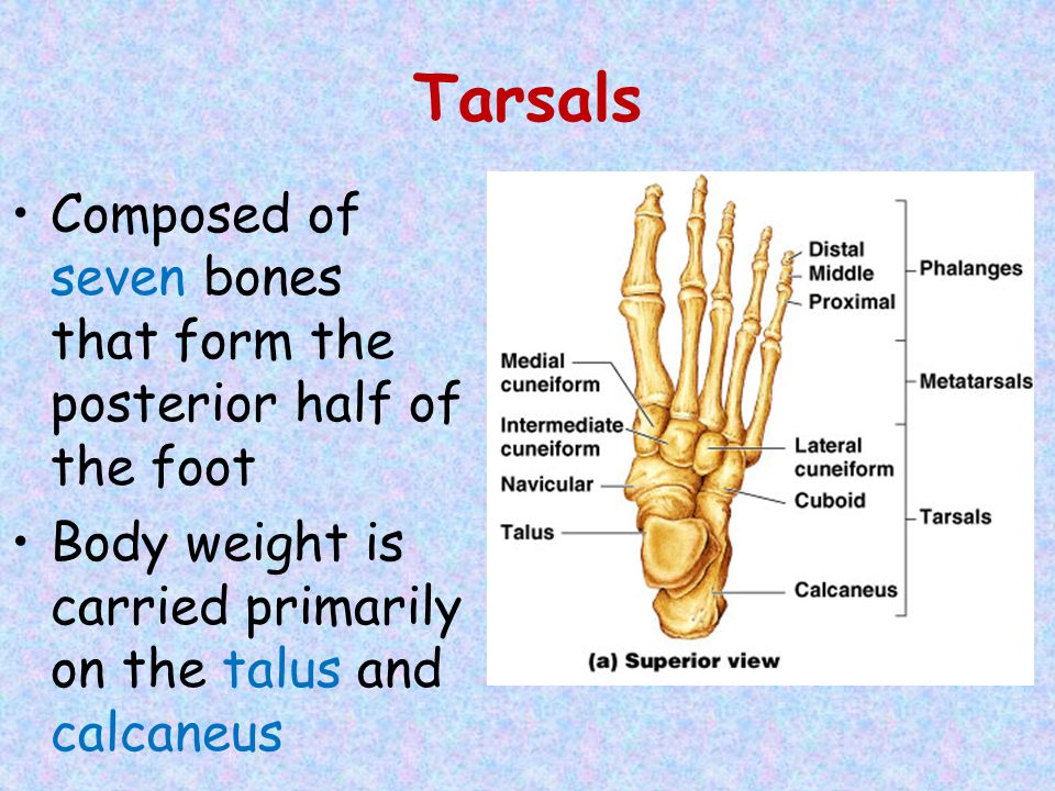 Tarsals Composed of seven bones that form the posterior half of the foot.