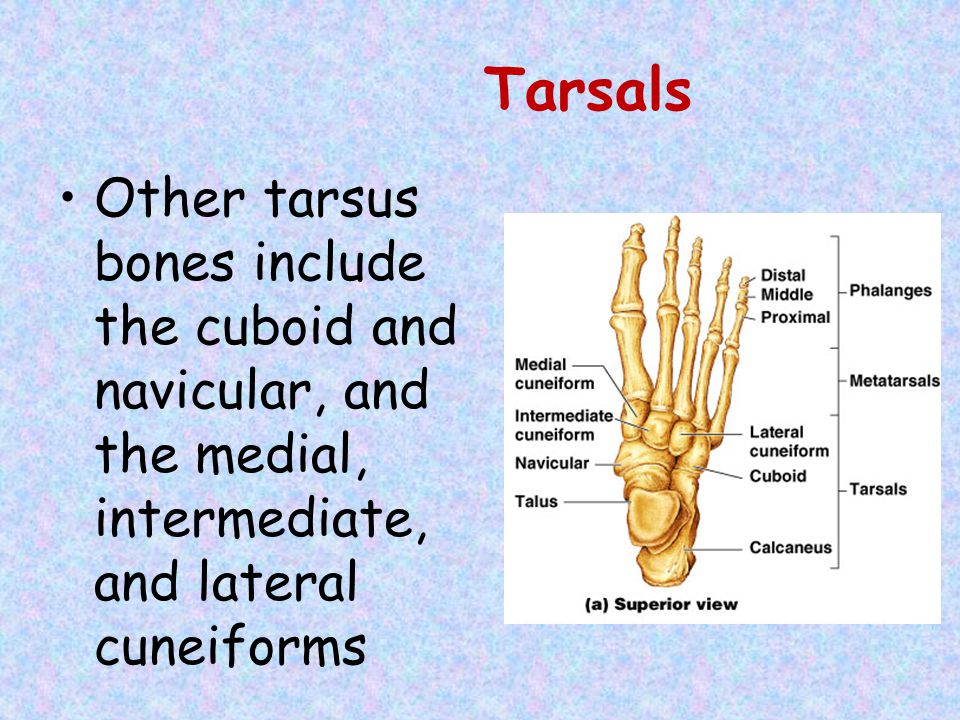 Tarsals Other tarsus bones include the cuboid and navicular, and the medial, intermediate, and lateral cuneiforms.