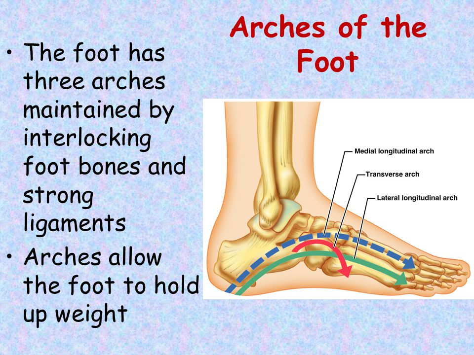 Arches of the Foot The foot has three arches maintained by interlocking foot bones and strong ligaments.