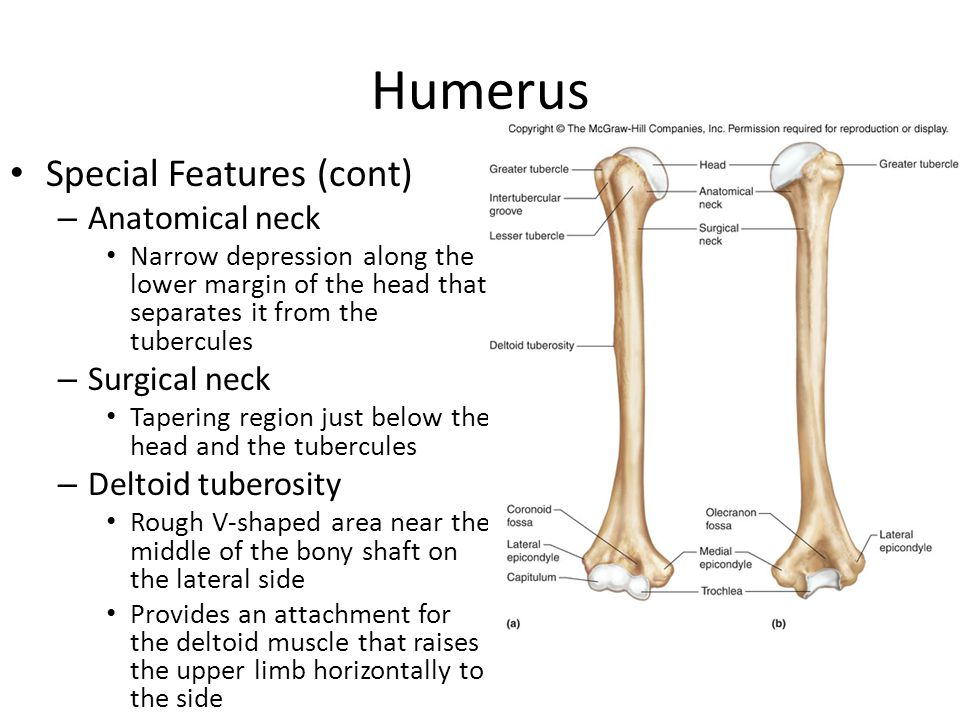 Humerus Special Features (cont) Anatomical neck Surgical neck