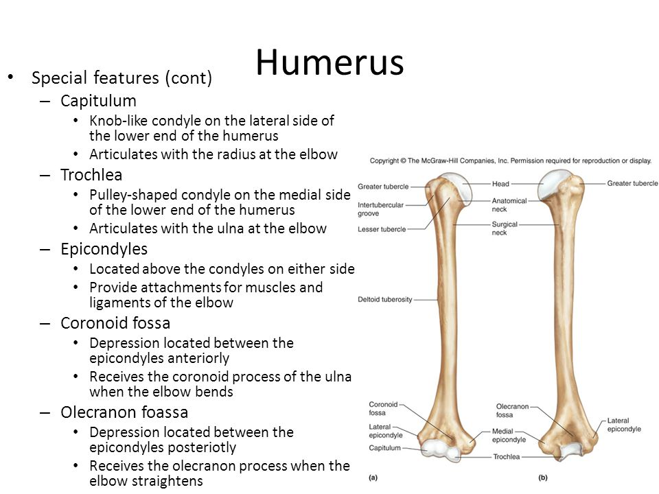 Humerus Special features (cont) Capitulum Trochlea Epicondyles