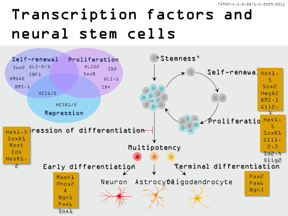Transcription factors and neural stem cells