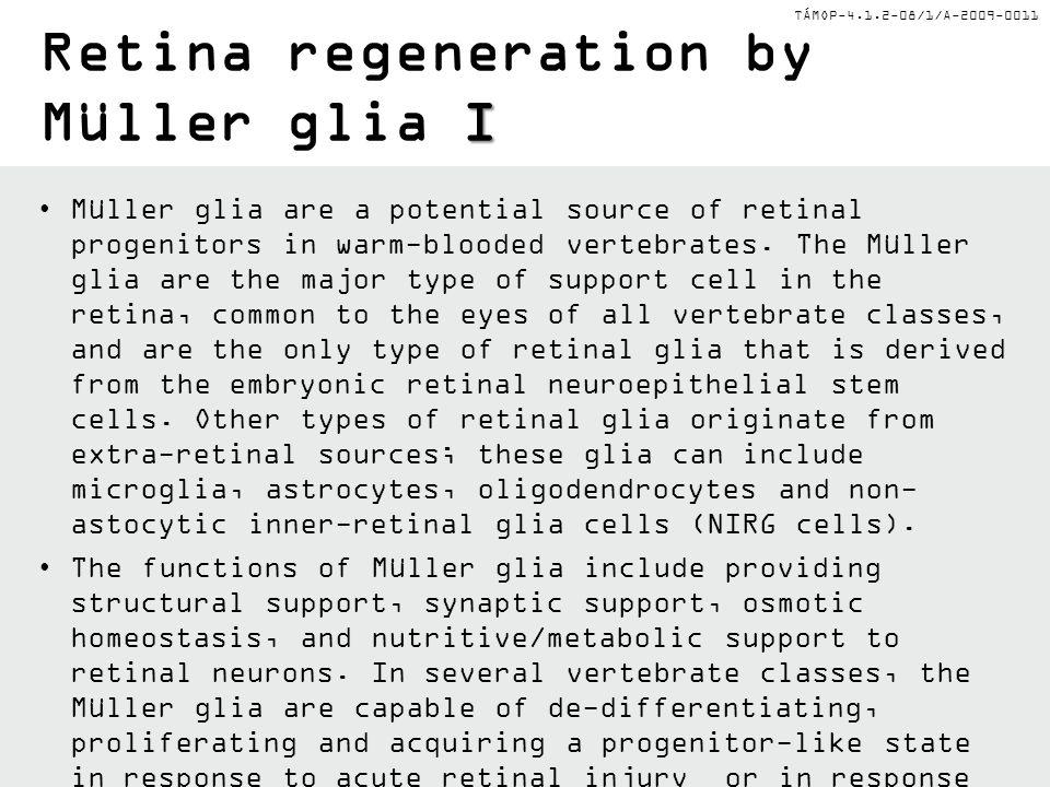 Retina regeneration by Müller glia I