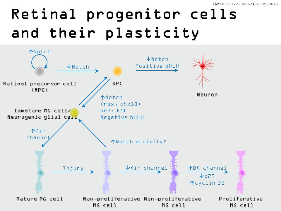 Retinal progenitor cells and their plasticity