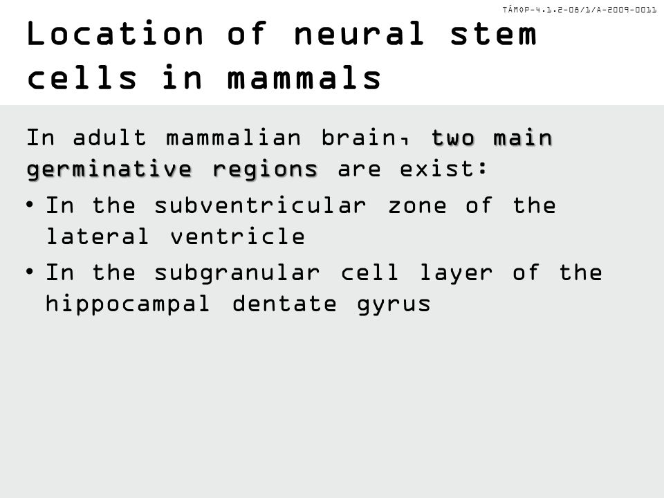 Location of neural stem cells in mammals
