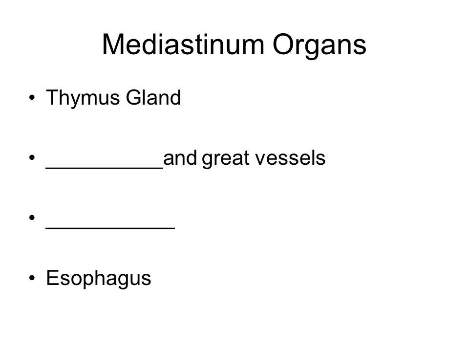 Mediastinum Organs Thymus Gland __________and great vessels