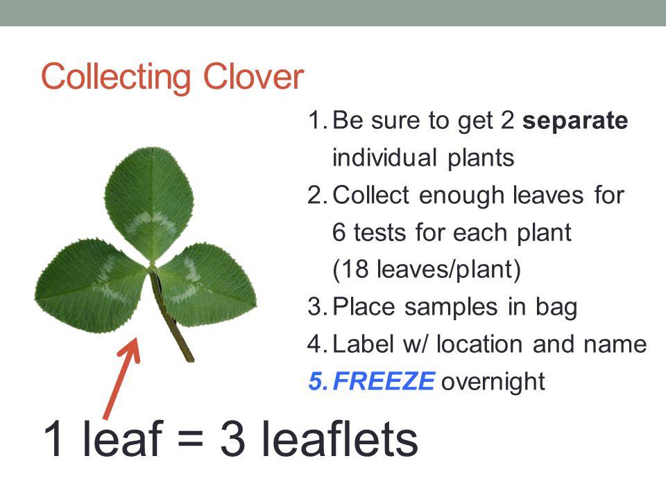 1 leaf = 3 leaflets Collecting Clover