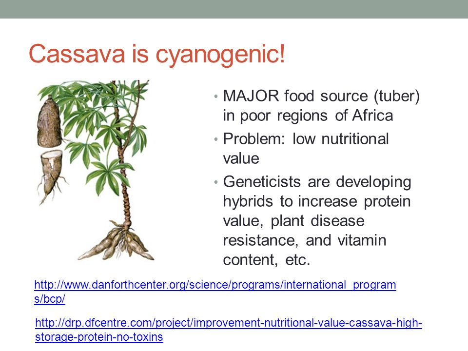 Cassava is cyanogenic! MAJOR food source (tuber) in poor regions of Africa. Problem: low nutritional value.