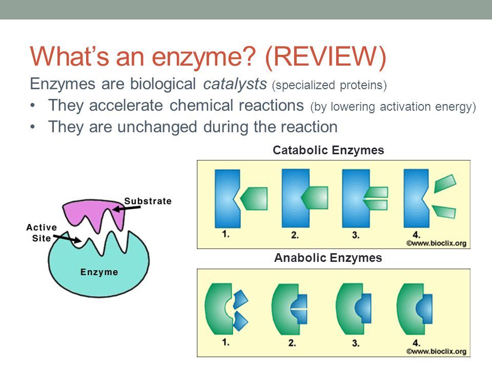 What's an enzyme (REVIEW)