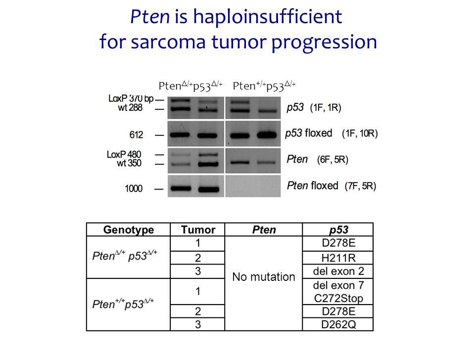 Pten is haploinsufficient for sarcoma tumor progression