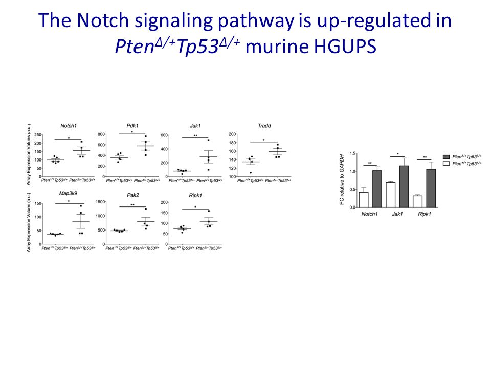 The Notch signaling pathway is up-regulated in PtenΔ/+Tp53Δ/+ murine HGUPS