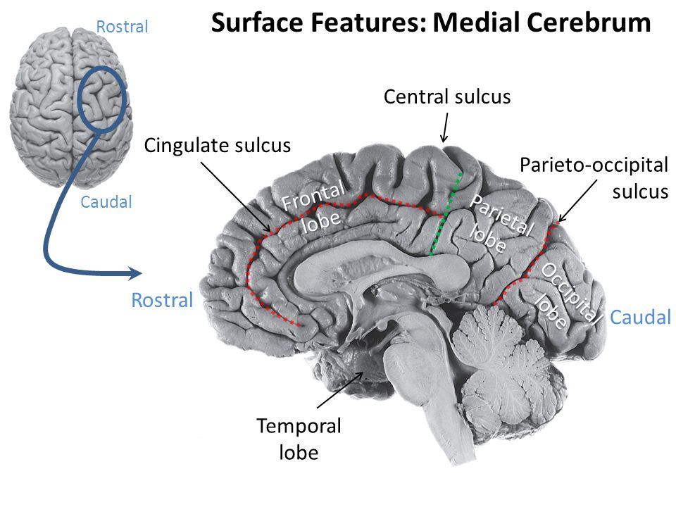 Surface Features: Medial Cerebrum