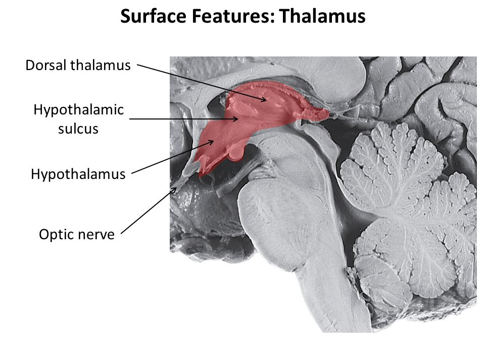 Surface Features: Thalamus