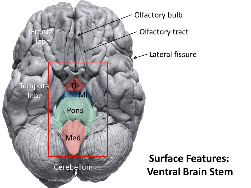 Surface Features: Ventral Brain Stem
