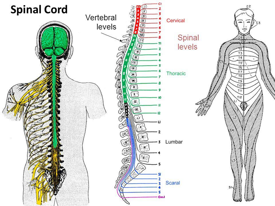 Spinal Cord Vertebral levels Spinal levels