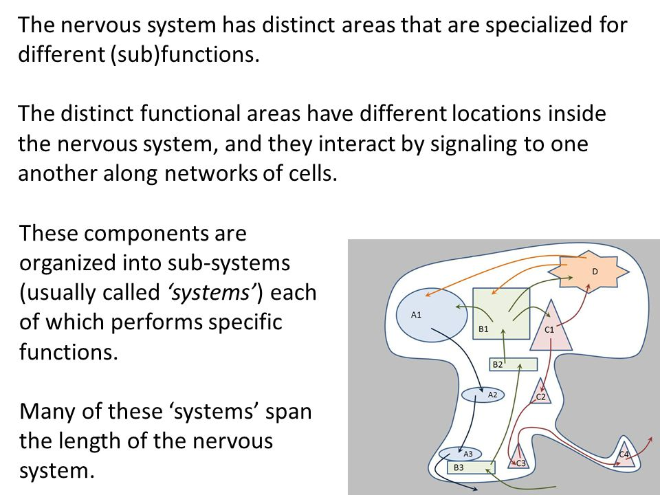 The nervous system has distinct areas that are specialized for different (sub)functions.