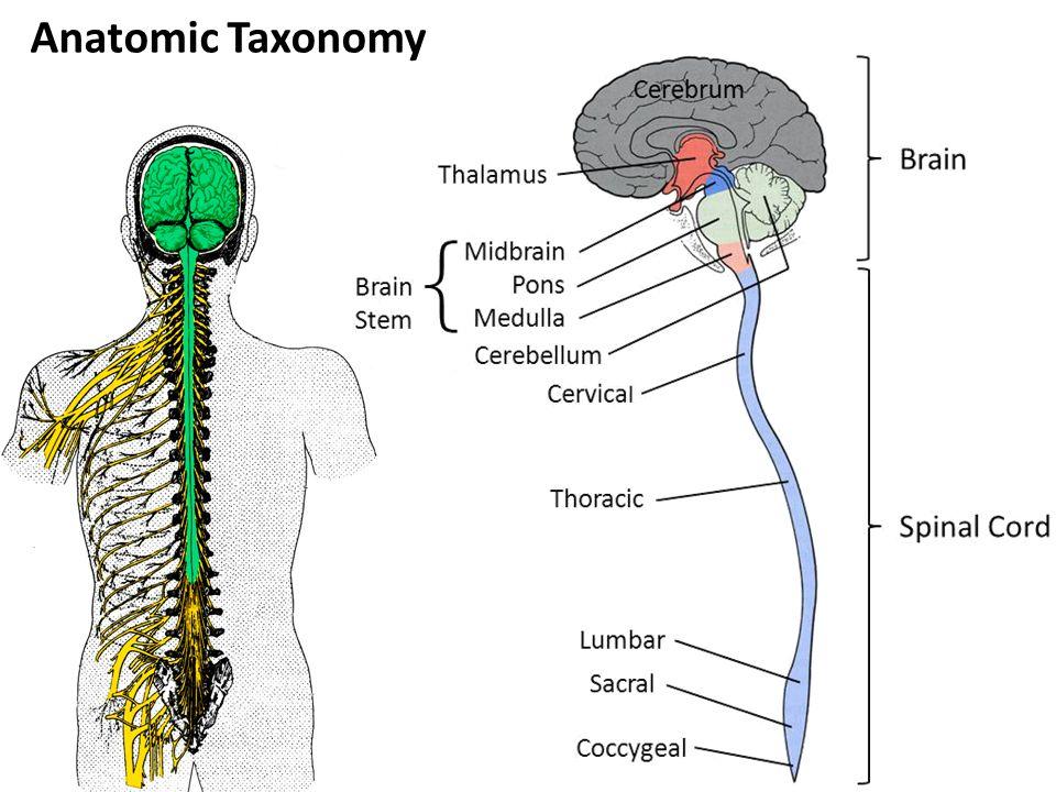 Anatomic Taxonomy