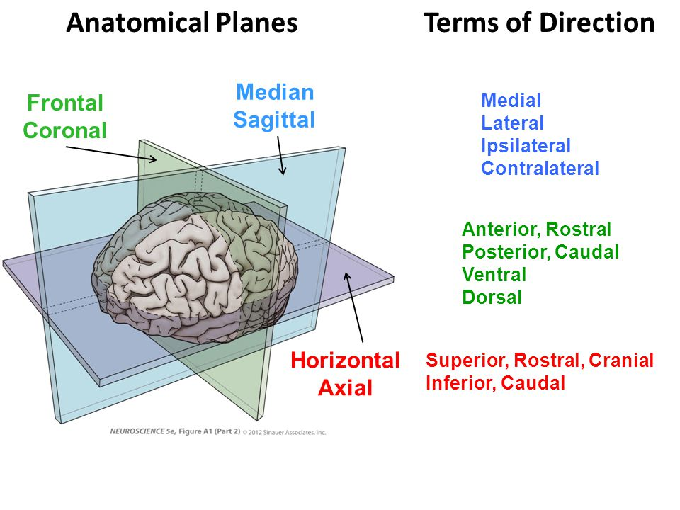 Anatomical Planes Terms of Direction Median Frontal Sagittal Coronal