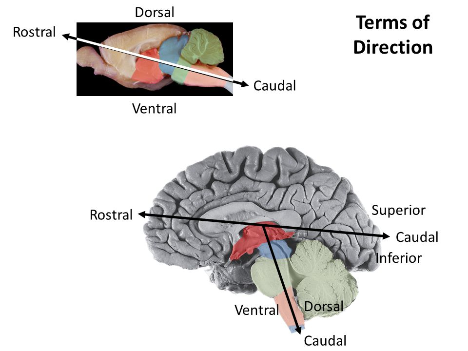 Terms of Direction Dorsal Rostral Caudal Ventral Superior Rostral