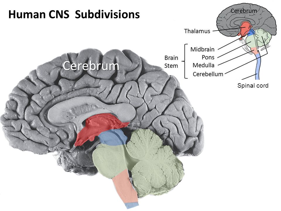 Spinal cord Human CNS Subdivisions Cerebrum