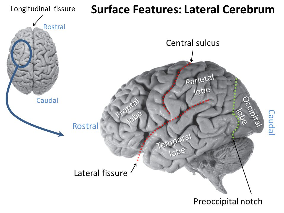 Surface Features: Lateral Cerebrum