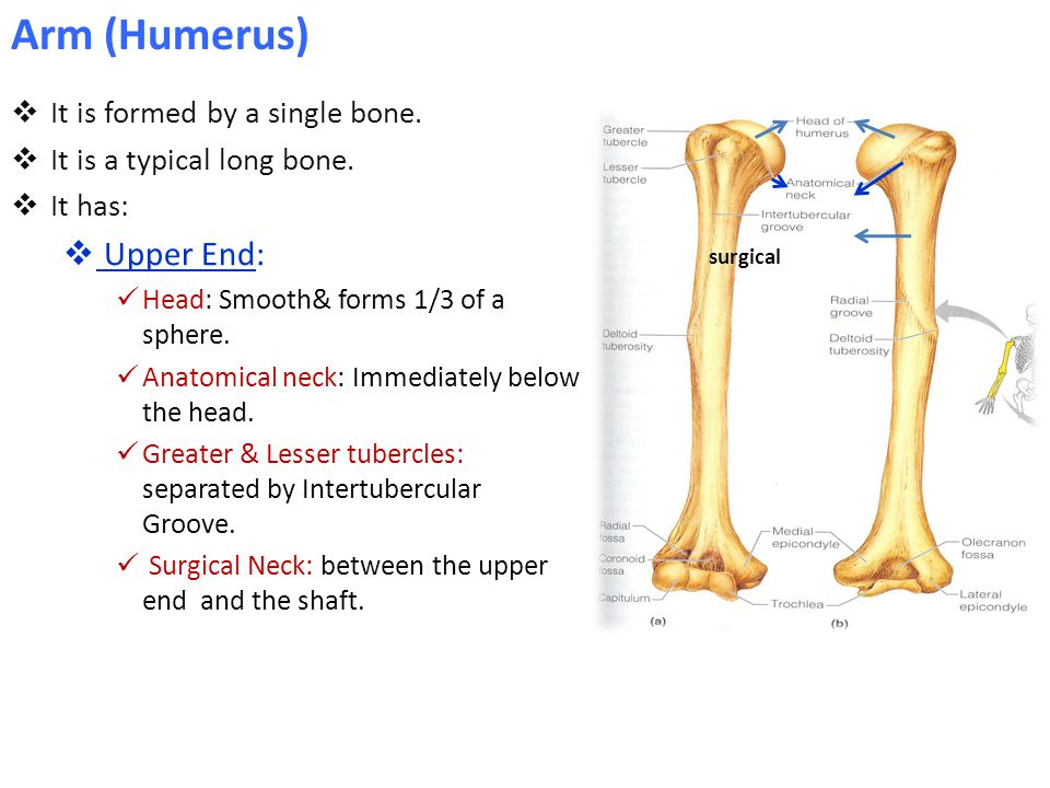 Arm (Humerus) Upper End: It is formed by a single bone.