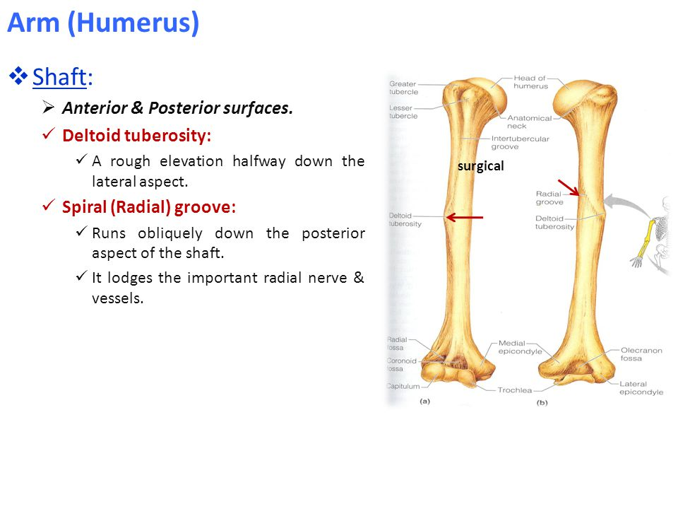Arm (Humerus) Shaft: Anterior & Posterior surfaces.