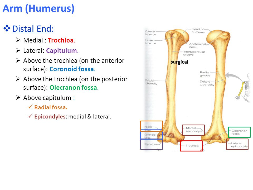 Arm (Humerus) Distal End: Medial : Trochlea. Lateral: Capitulum.