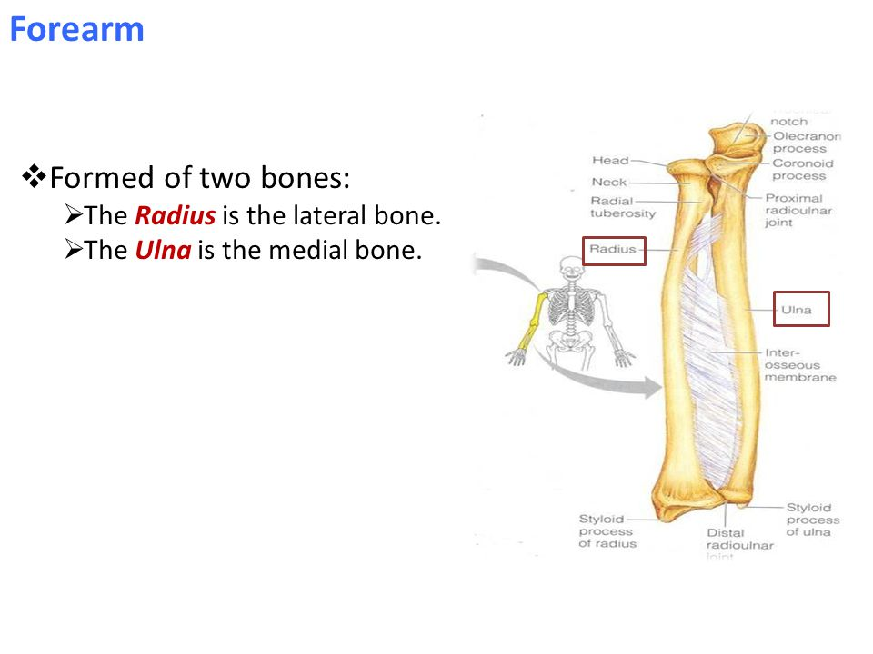 Forearm Formed of two bones: The Radius is the lateral bone.