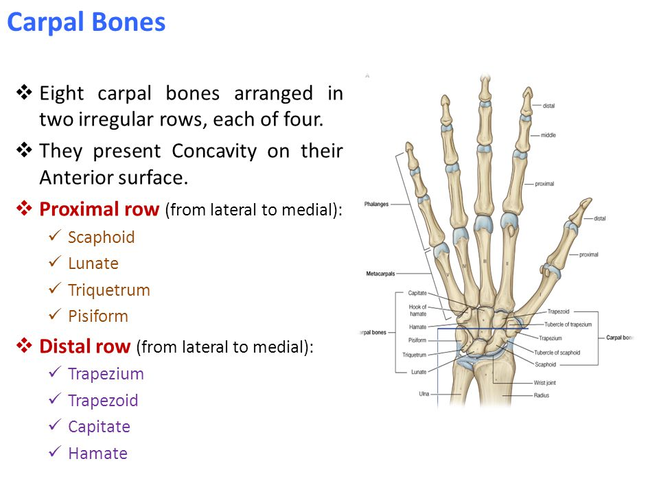 Carpal Bones Eight carpal bones arranged in two irregular rows, each of four. They present Concavity on their Anterior surface.