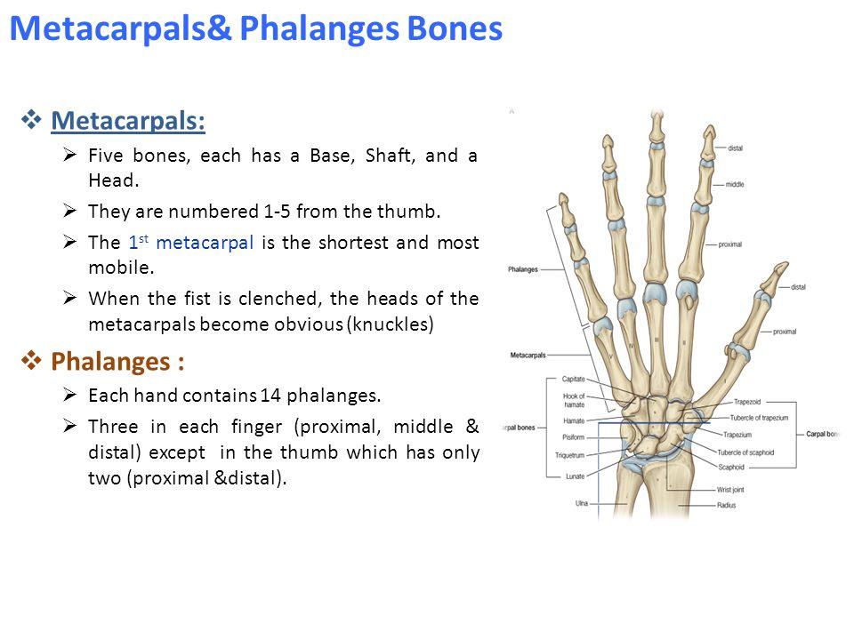 Metacarpals& Phalanges Bones