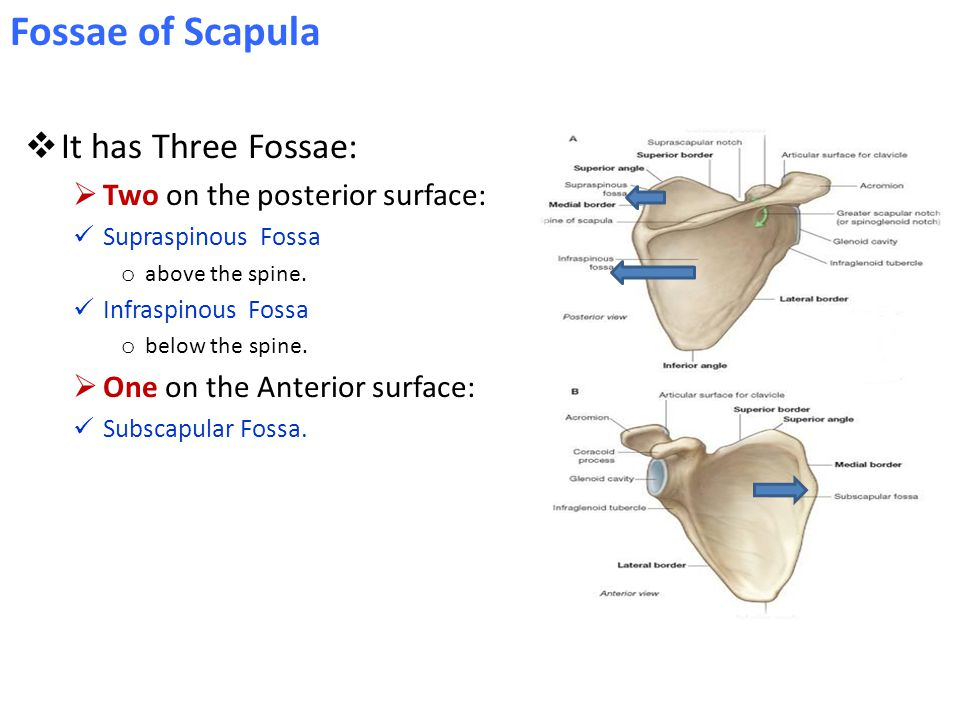 Fossae of Scapula It has Three Fossae: Two on the posterior surface: