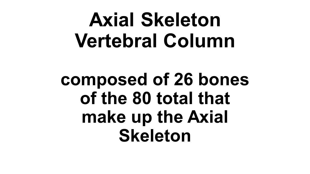 Axial Skeleton Vertebral Column composed of 26 bones of the 80 total that make up the Axial Skeleton