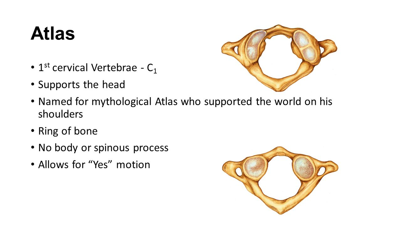 Atlas 1st cervical Vertebrae - C1 Supports the head