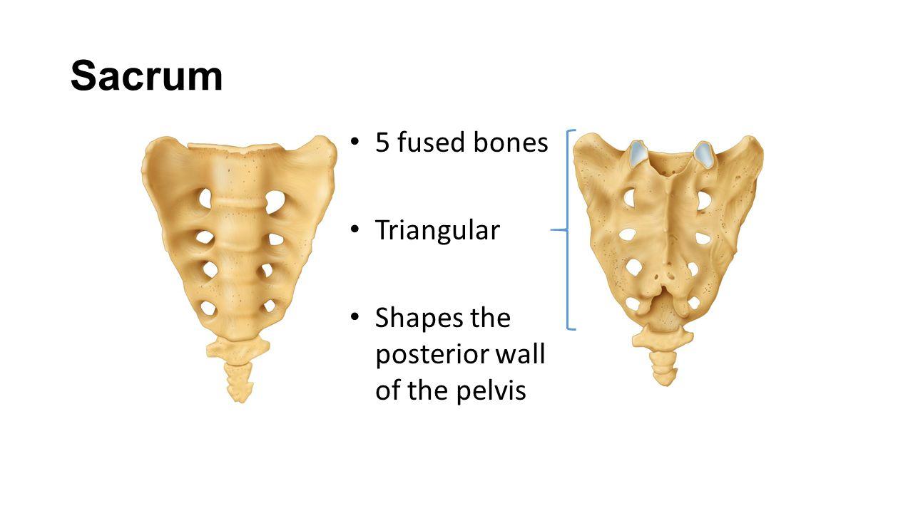 Sacrum 5 fused bones Triangular