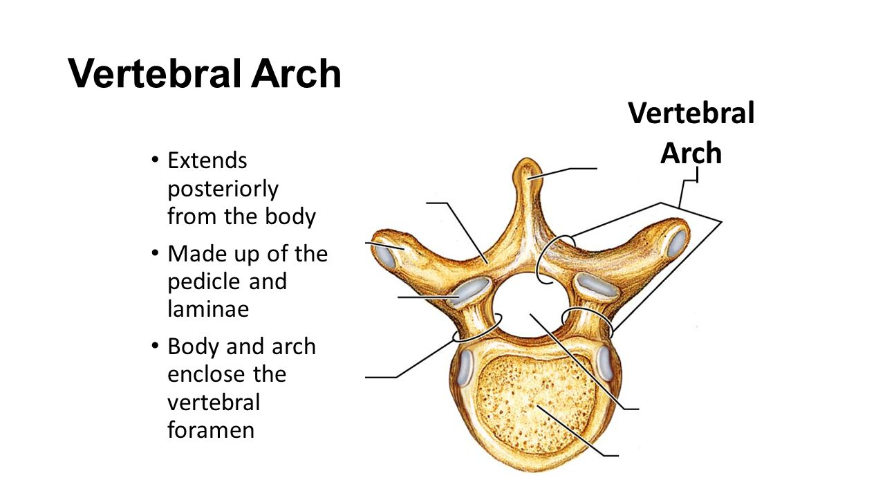 Vertebral Arch Vertebral Arch Extends posteriorly from the body