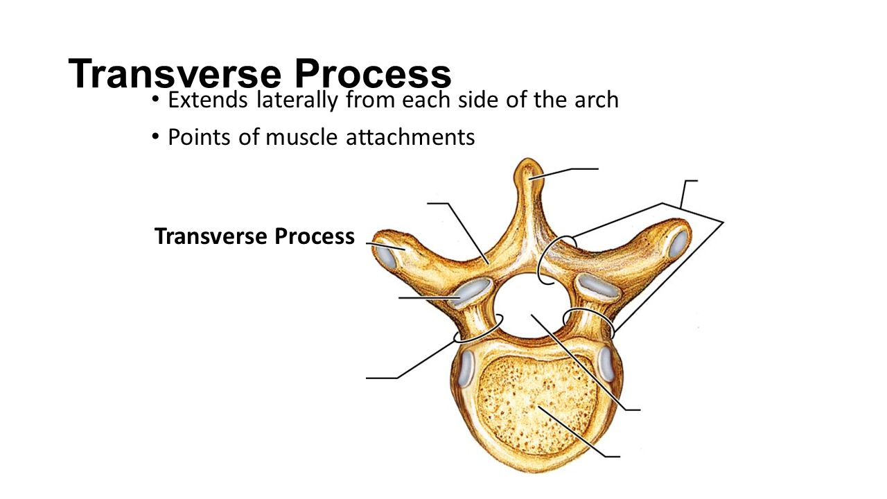 Transverse Process Extends laterally from each side of the arch