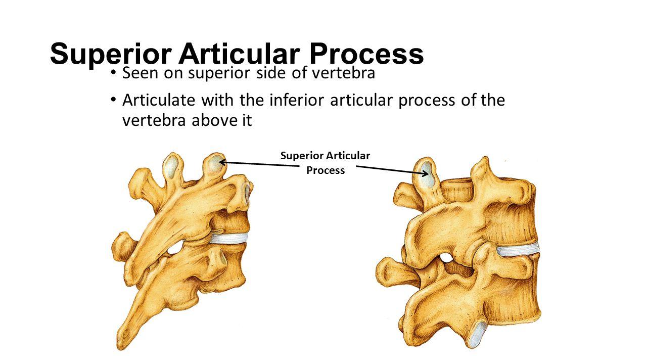 Superior Articular Process