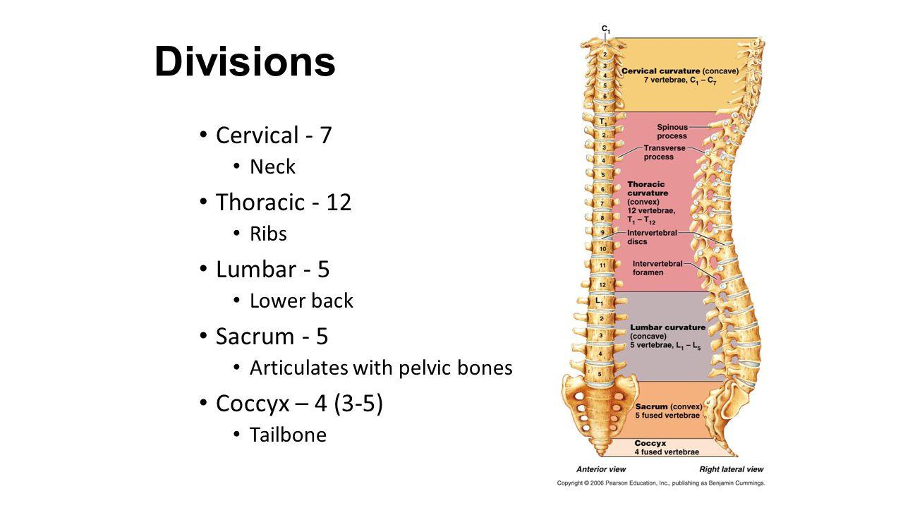 Divisions Cervical - 7 Thoracic - 12 Lumbar - 5 Sacrum - 5