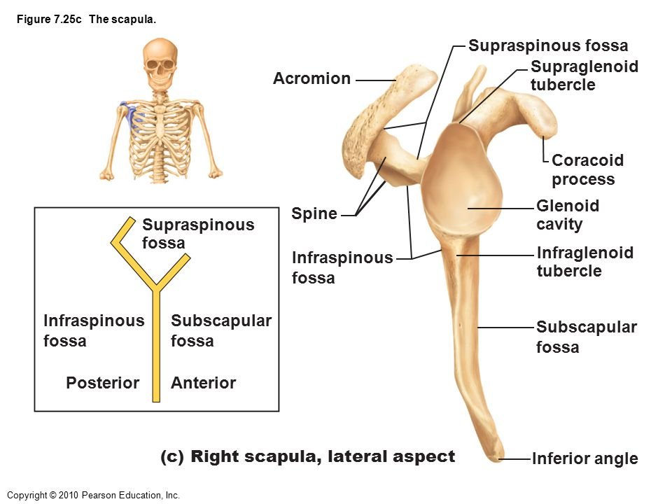 (c) Right scapula, lateral aspect Inferior angle