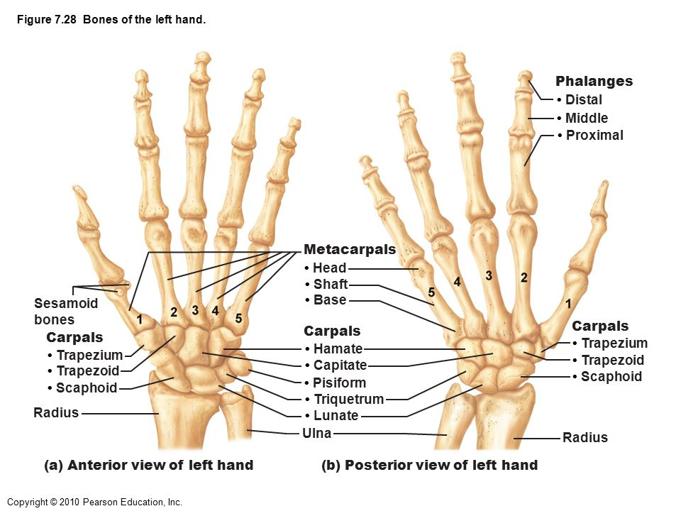 Figure 7.28 Bones of the left hand.