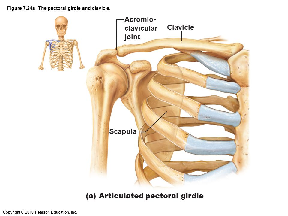 Figure 7.24a The pectoral girdle and clavicle.