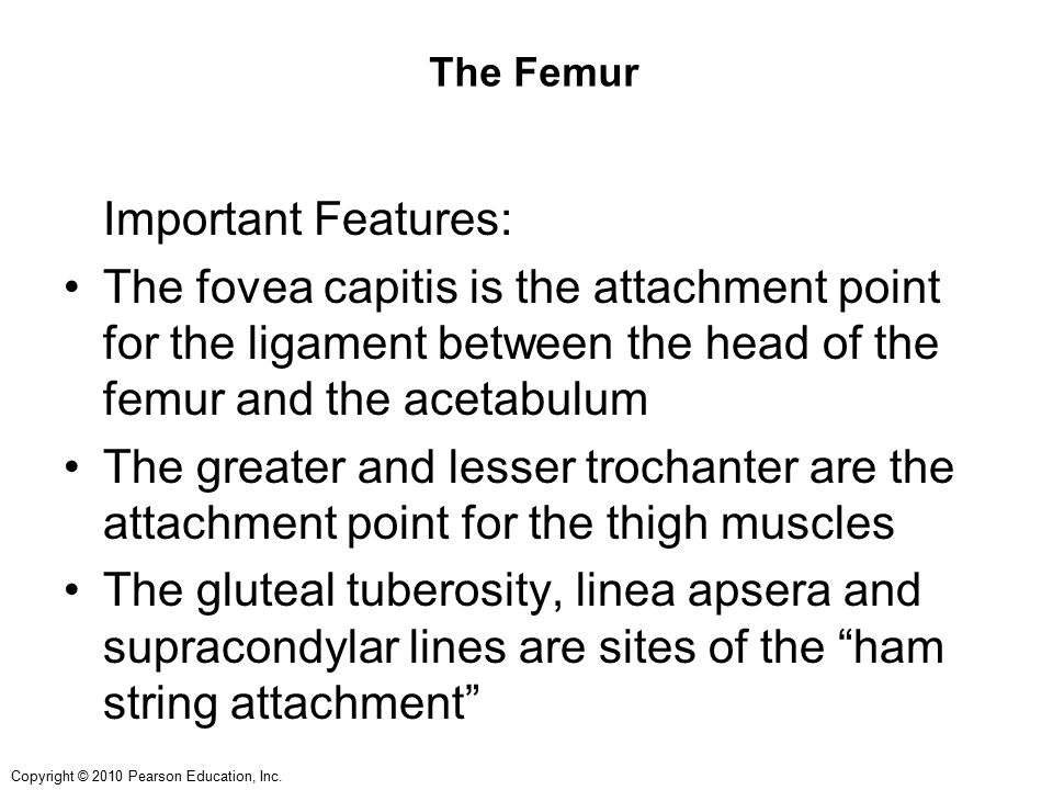 The Femur Important Features: The fovea capitis is the attachment point for the ligament between the head of the femur and the acetabulum.