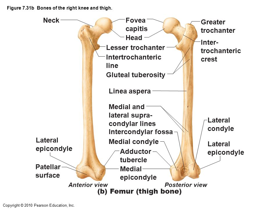 Figure 7.31b Bones of the right knee and thigh.