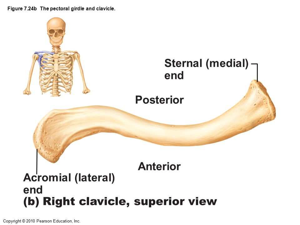 Figure 7.24b The pectoral girdle and clavicle.